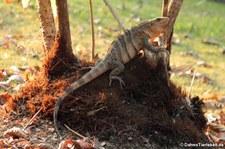 Schwarzer Leguan (Ctenosaura similis) in der Nähe des Nationalparks Manuel Antonio, Costa Rica