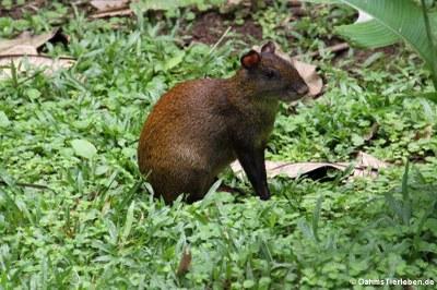 Mittelamerikanisches Aguti (Dasyprocta punctata)