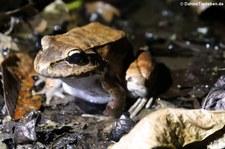 Leptodactylus savagei im Rainmaker Mountains' Rainforest, Costa Rica