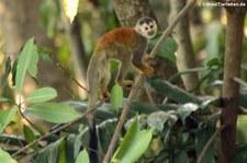 Rotrücken-Totenkopfaffe (Saimiri oerstedii citrinellus) in der Nähe des Nationalparks Manuel Antonio, Costa Rica