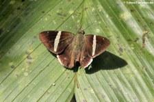 Autochton longipennis im Braulio Carrillo National Park, Costa Rica