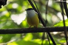 Weißbandpipra (Manacus candei) im Braulio Carrillo National Park, Costa Rica
