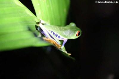 Rotaugen-Laubfrosch (Agalychnis callidryas)