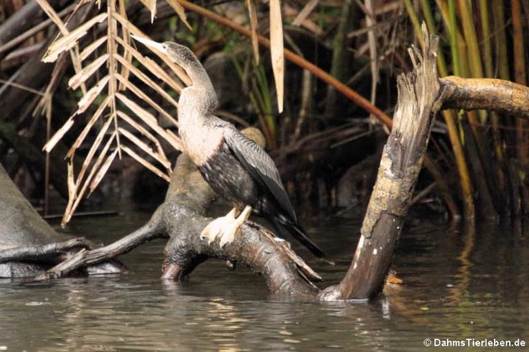 Anhinga anhinga leucogaster