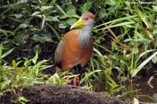 Cayenneralle (Aramides cajaneus cajaneus) im Nationalpark Tortuguero, Costa Rica