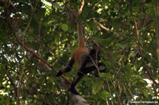 Geoffroy-Klammeraffe (Ateles geoffroyi) im Nationalpark Tortuguero, Costa Rica