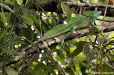 Stirnlappenbasilisk (Basiliscus plumifrons) im Nationalpark Tortuguero, Costa Rica