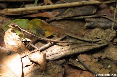 Junger Streifenbasilisk (Basiliscus vittatus)