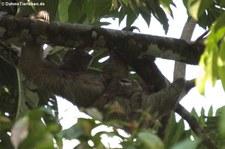 Braunkehl-Faultier (Bradypus variegatus) mit Jungtier im Nationalpark Tortuguero, Costa Rica