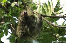 Braunkehl-Faultier (Bradypus variegatus) im Nationalpark Tortuguero, Costa Rica