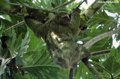 Braunkehl-Faultier (Bradypus variegatus) mit Jungtier