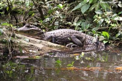 Krokodilkaiman aus Costa Rica (Caiman crocodylus)