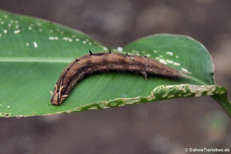 Caligo memnon (Raupe)