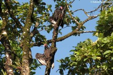 Truthahngeier (Cathartes aura aura) im Nationalpark Tortuguero, Costa Rica