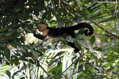 Panama-Kapuzineraffe (Cebus imitator)