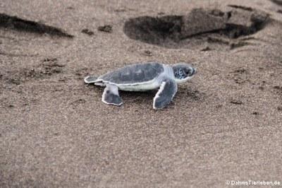 Eine soeben geschlüpfte grüne Meeresschildkröte (Chelonia mydas) auf dem Weg zum Meer