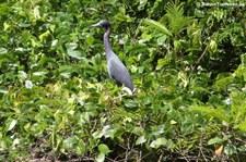 Blaureiher (Egretta caerulea) im Nationalpark Tortuguero, Costa Rica