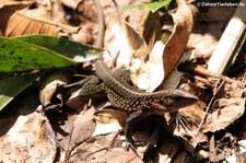 Zentralamerikanische Ameive (Holcosus festivus occidentalis) im Nationalpark Tortuguero, Costa Rica