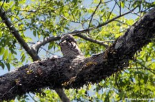 Urutau-Tagschläfer (Nyctibius griseus panamensis) im Nationalpark Tortuguero, Costa Rica