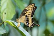 Königs-Schwalbenschwanz (Papilio thoas) im Nationalpark Tortuguero, Costa Rica