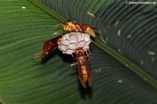 Papierwespe (Polistes major) im Nationalpark Tortuguero, Costa Rica
