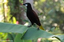 Montezumastirnvogel (Psarocolius montezuma) im Nationalpark Tortuguero, Costa Rica