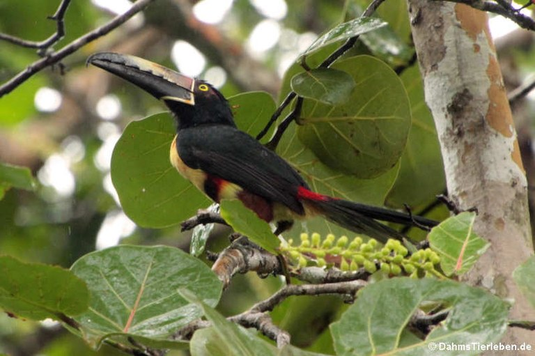 Pteroglossus torquatus torquatus