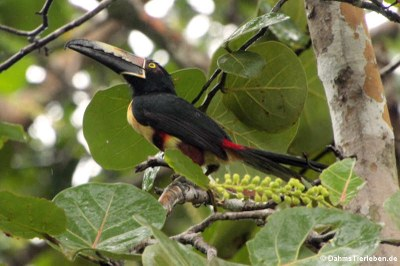 Halsbandarassari (Pteroglossus torquatus torquatus)