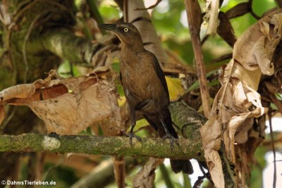 weibliche Dohlengrackel (Quiscalus mexicanus peruvianus)