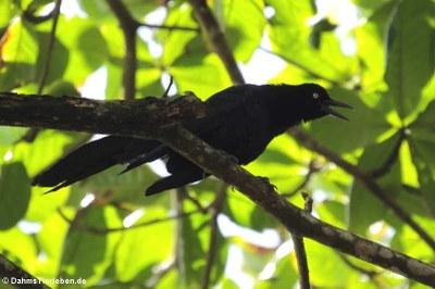 männliche Dohlengrackel (Quiscalus mexicanus peruvianus)