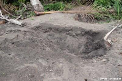 Nest der grünen Meeresschildkröte (Chelonia mydas) nach dem Schlüpfen der Jungtiere