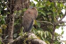 Nacktkehlreiher (Tigrisoma mexicanum) im Nationalpark Tortuguero, Costa Rica