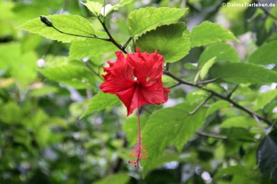 Pflanze auf Tortuguero