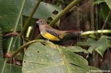 weiblicher Schwarzkehltrogon (Trogon rufus tenellus) im Nationalpark Tortuguero, Costa Rica
