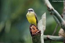 Trauertyrann (Tyrannus melancholicus satrapa) im Nationalpark Tortuguero, Costa Rica.