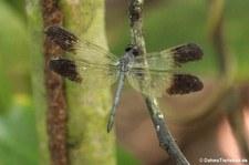 Libelle (Uracis fastigiata) im Nationalpark Tortuguero, Costa Rica