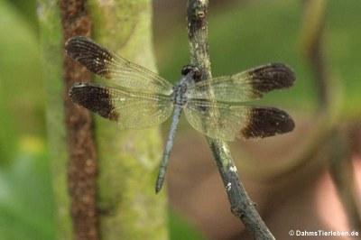 Libelle (Uracis fastigiata)