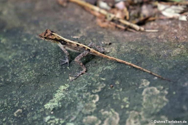 Anolis cristatellus cristatellus
