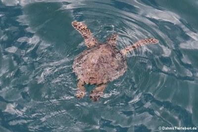 Grüne Meeresschildkröte (Chelonia mydas) vor der Küste von Dominica