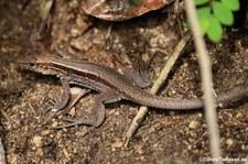 Dominican ground lizard (Pholidoscelis fuscatus) auf der Karibikinsek Dominica