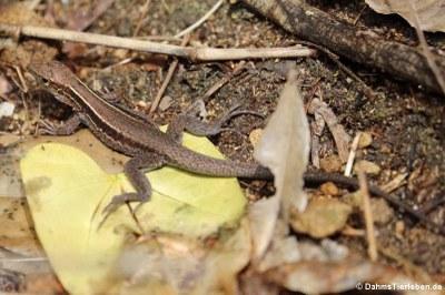 Dominican ground lizard (Pholidoscelis fuscatus)