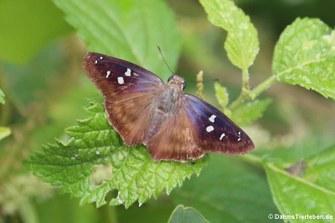 Schmetterling (Proteides mercurius)