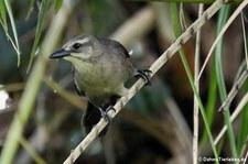 weibliche Trauergrackel (Quiscalus lugubris guadeloupensis) in Dominica