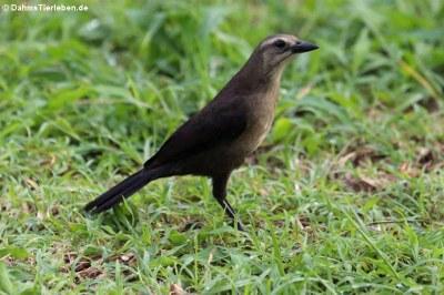 weibliche Trauergrackel (Quiscalus lugubris guadeloupensis)