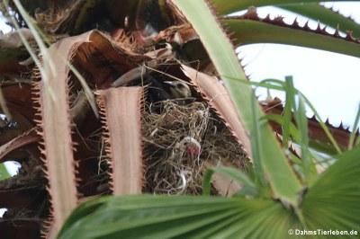 weibliche Trauergrackel (Quiscalus lugubris guadeloupensis im Nest