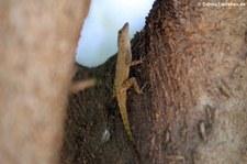 Anolis properus in La Romana, Dominikanische Republik