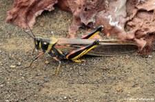 Schistocerca melanocera auf der Galápagos-Insel Bartolomé