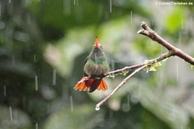 Braunschwanzamazilie im Regen (Amazilia tzacatl jucunda)