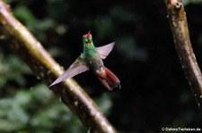 Braunschwanzamazilie (Amazilia tzacatl jucunda) im Bellavista Cloud Forest Reserve, Ecuador