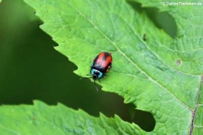 Käfer (Aspicela bourcieri)